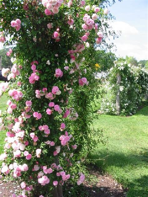 Roses For All Seasons Growing Climbing Roses Makes A