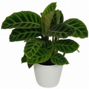 Meilleur Site De Vente De Plantes En Ligne : achat du calathea acheter au meilleur prix de vente ~ Melissatoandfro.com Idées de Décoration