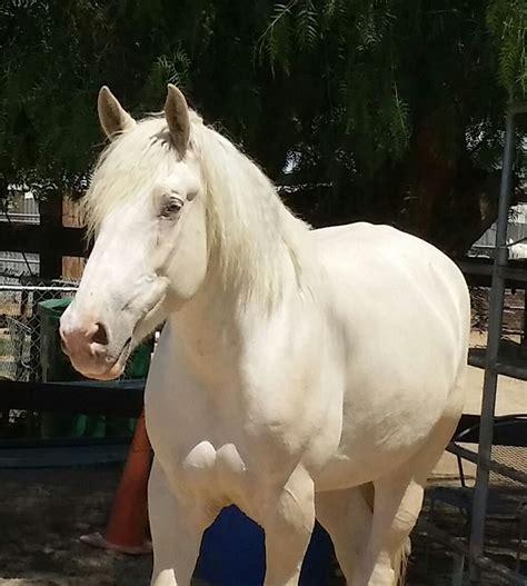 rare draft cream american amber eyes endangered horses lola horse uploaded
