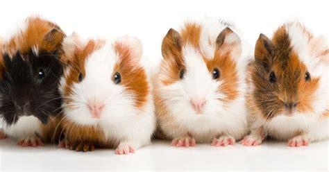 guinea pig names 72 cute and funny guinea pig names dieren