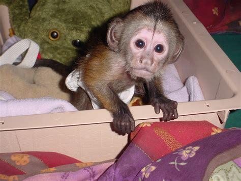 kapuziner affen zum verkauf affe zuechter tierhandlung