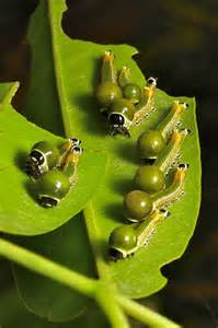 Caterpillars Turn into Moths