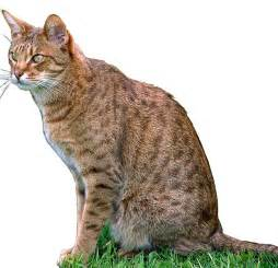 domestic cat breeds hybrid cat breeds