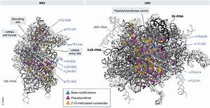 Uncovering The Assembly Pathway Of Human Ribosomes And Its