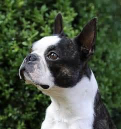 Seal Boston Terrier Black