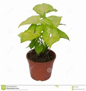 Plante D Intérieur : syngonium de plante d 39 int rieur photo stock image 40479550 ~ Dode.kayakingforconservation.com Idées de Décoration