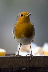 Robin iPhone Wallpapers/iPhone Backgrounds/iPod touch ...