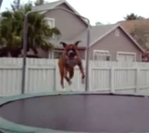 video animals jumping  trampolines   funny