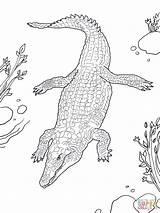 Crocodile Coloring Nile Colorare Coccodrillo Alligator Ausmalbilder Disegni Coloriage Disegno Nilo Printable Drawing Nilkrokodil Draw Imprimer Hunter Cake Drawings Krokodil sketch template
