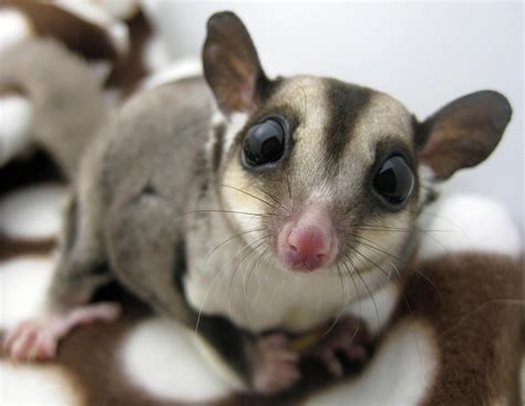 sugar glider home home sugar gliders and everything about them