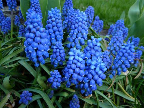 blaue blumen frühling blaue blumen