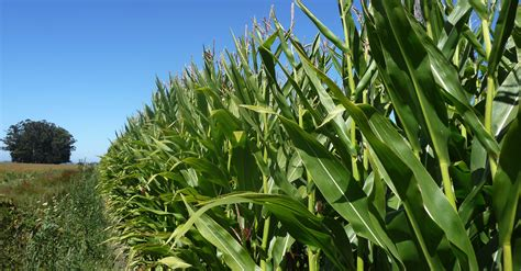 Kenya to keep importing maize from Uganda as farmers decry ...