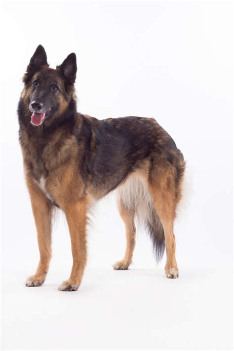 belgian shepherd dog tervuren dogs breed information
