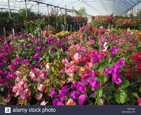 bougainvillea colors various colors of bougainvillea plants blossoming in a
