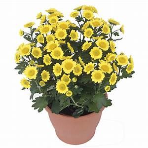 Dendranthema Hybride Balkon : fleurette mum chrysanthemum hybrid pick ontario ~ Lizthompson.info Haus und Dekorationen