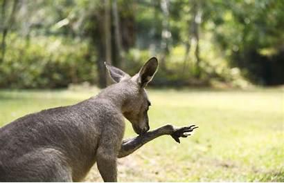 Kangaroo Pet Consider Before Things Animals Should