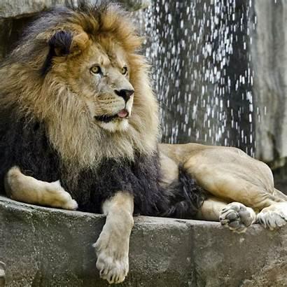 Lion African Animals Meet Zoo Potawatomi Animal