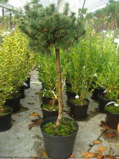 arbuste sur tige persistant en pot arbuste tige persistant