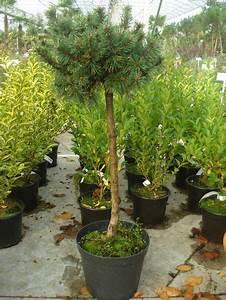 Petit Arbre Persistant : les arbres de petit d veloppement ~ Melissatoandfro.com Idées de Décoration