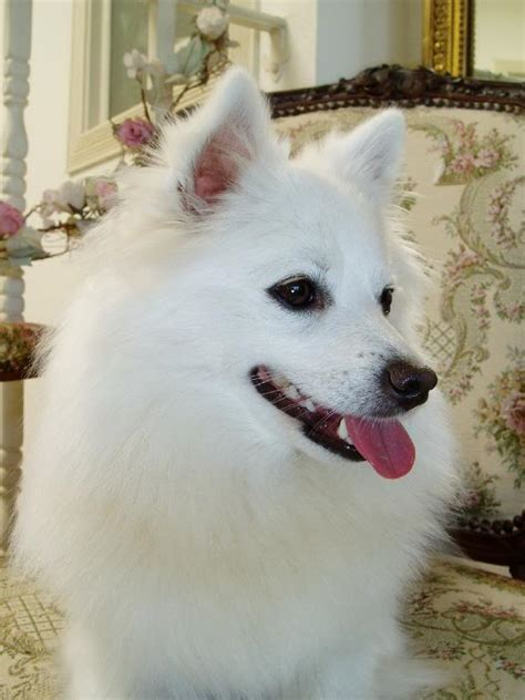 Miniature American Eskimo Shedding by Miniature American Eskimo Top Directory