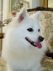 Miniature American Eskimo Dog | Top Dog Directory