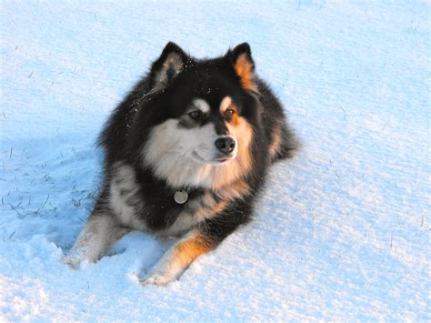 finnish lapphund puppies rescue pictures information