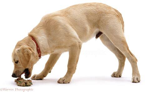 dog retriever  sick photo wp
