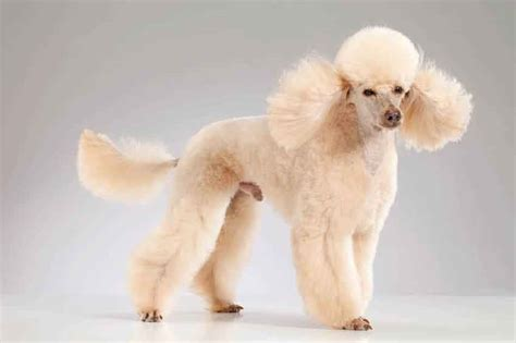 Types Of Dogs That Dont Shed by Poodle Cuts And Hairstyles Petcarerx Com