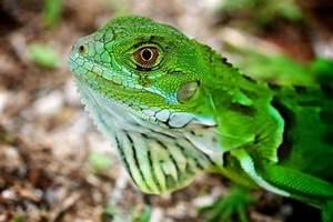 Info-Junction Blog: Green Iguana