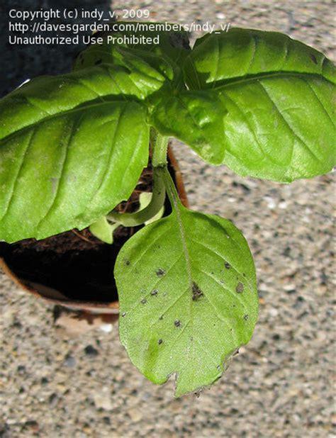 basil plant pests garden pests and diseases black spots on basil leaves 1 by dividedsky
