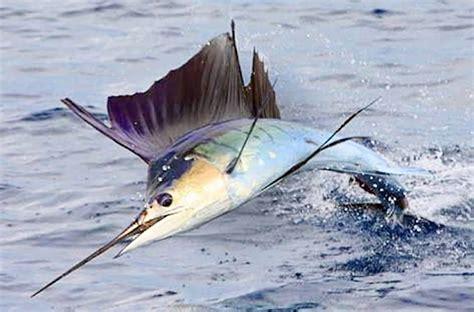 Ibu Menyusui Remaja 26 Manfaat Dan Khasiat Ikan Marlin Biru Untuk Kesehatan