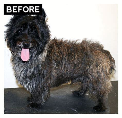 cairn terrier haircuts haircuts models ideas