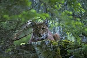Wild European Lynx | Laurent Geslin  Wild
