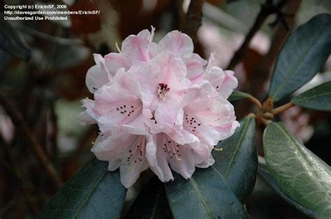 rhododendron federal way plantfiles pictures rhododendron species rhododendron fulvum by conor123