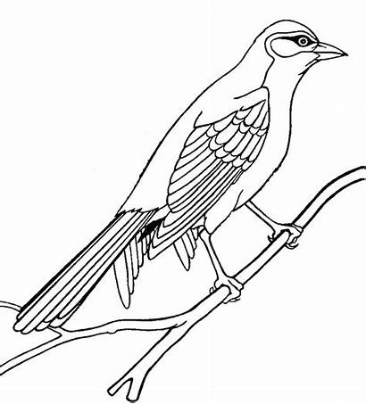 Bird Outline Coloring Birds Pages Mockingbird Drawings