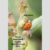 Ladybugs On Plants   526 x 784 jpeg 79kB