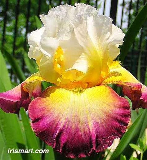 bearded irises starship enterprise tall bearded iris
