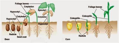 tipe perkecambahan info pendidikan  biologi