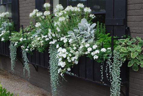 window box in shades of green white white cleome adds