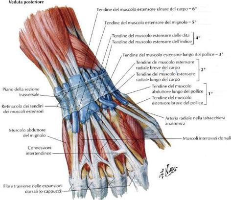 dolore interno braccio sinistro struttura muscolare polso physiolife velletri