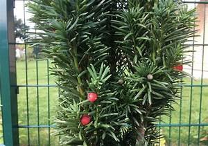 Immergrüne Pflanzen Winterhart : immergr ne pflanzen die 6 beliebtesten f r ihren garten ~ A.2002-acura-tl-radio.info Haus und Dekorationen