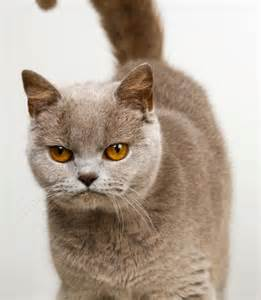 burmese cats cat breeds images and information