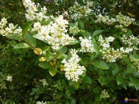 arbuste a fleur photo arbuste fleur blanche