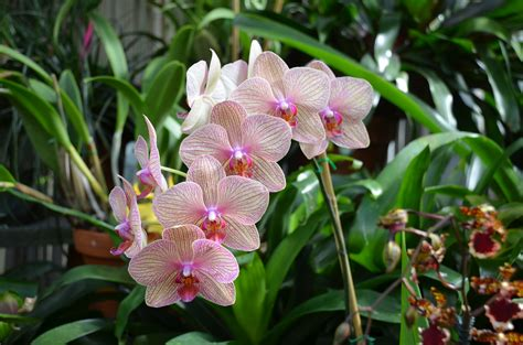transplanting phalaenopsis orchids what grows there hugh conlon horticulturalist professor lecturer and gardener