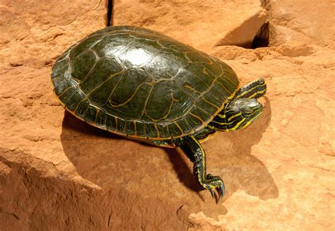 aquatic turtles types of baby turtles pictures to pin on pinterest pinsdaddy