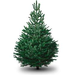 Nordmann Fir Christmas Tree Artificial by Real Fresh Christmas Trees Delivered Uk