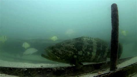 goliath grouper keys florida