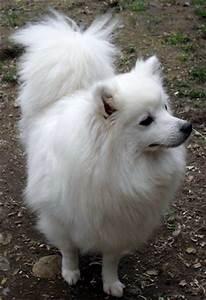 American Eskimo Dog (miniature) in Canada - CanaDogs