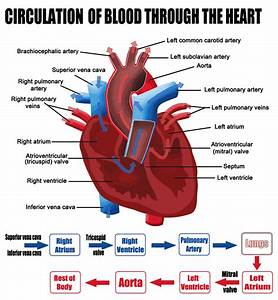 About Heart Valves