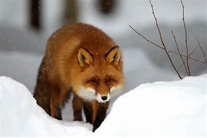 Fox Wallpapers Winter Snow